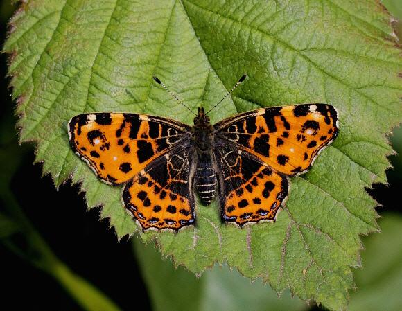 Butterflies Of Europe