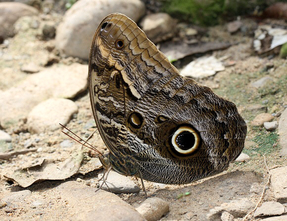 Owl butterfly life cycle - photo#9