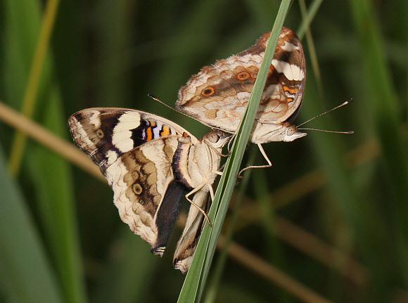 Butterflies Of Africa Junonia Oenone