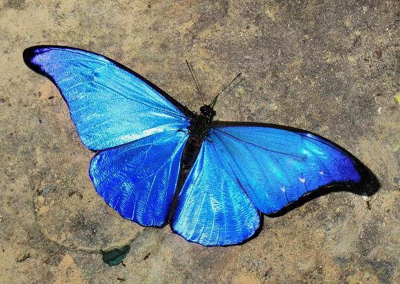 Framed Blue Morpho rhetenor helena Butterfly | Real Butterfly ...