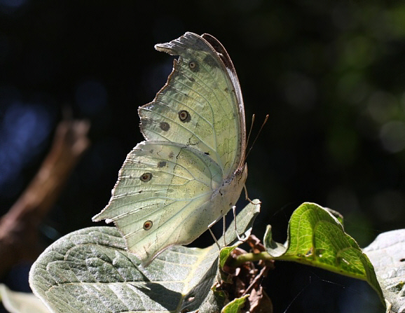 Mother of Pearl butterfly. hiking Bwindi