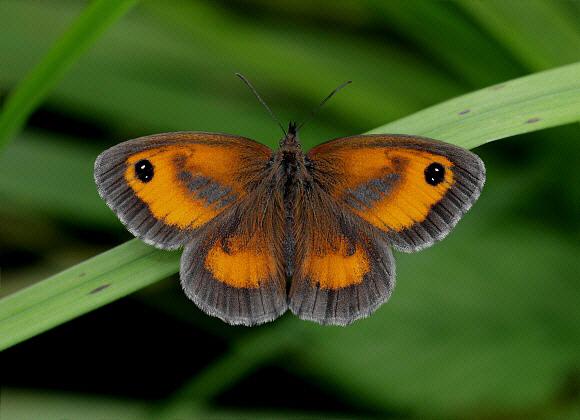Butterflies of Europe - Pyronia tithonus
