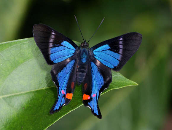 Rhetus periander   Peru   169  Adrian HoskinsTropical Rainforest Butterflies