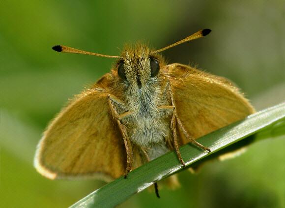 Butterfly Anatomy - Head