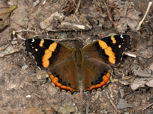 Butterflies of Africa - Vanessa abyssinica