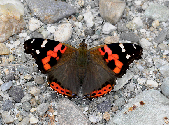 Butterflies of the Indian subcontinent - Vanessa indica
