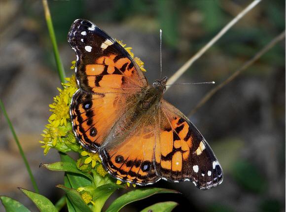 Butterflies of North America - Vanessa virginiensis