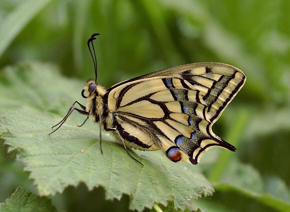Butterfly Anatomy - Thorax & Abdomen
