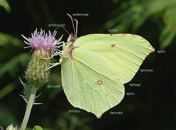 Butterfly Anatomy - Wings