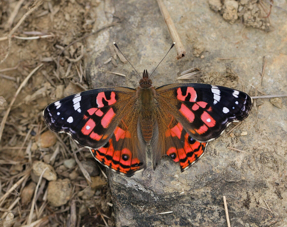 Butterflies of the Andes - Vanessa braziliensis