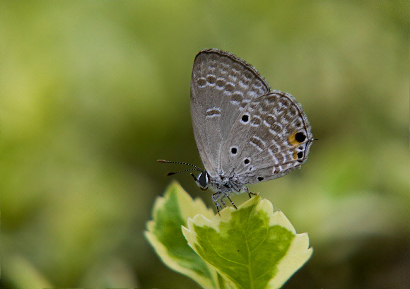 Butterflies of the Indian subcontinent - Chilades parrhasius