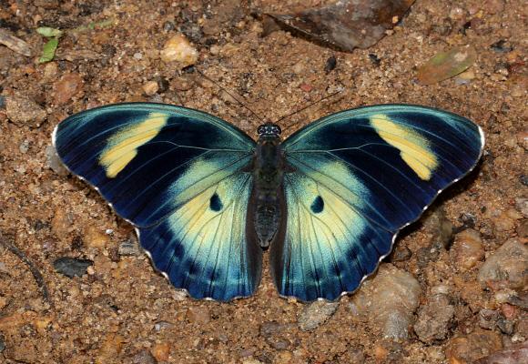 Bộ sưu tập cánh vẩy 5 - Page 13 Euphaedra%20ceres%20lutescens%206793-001a