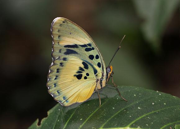 Bộ sưu tập cánh vẩy 5 - Page 13 Euphaedra%20ceres%20lutescens%206836-001a
