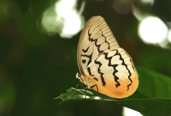 Bộ sưu tập cánh vẩy 5 - Page 28 Melanocyma%20faunula%20004a