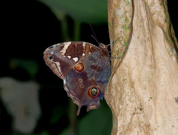 Bộ sưu tập cánh vẩy 6 Opoptera%20aorsa%20001a