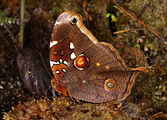 Bộ sưu tập cánh vẩy 6 Opoptera%20arsippe%20AMVH%209025-001a