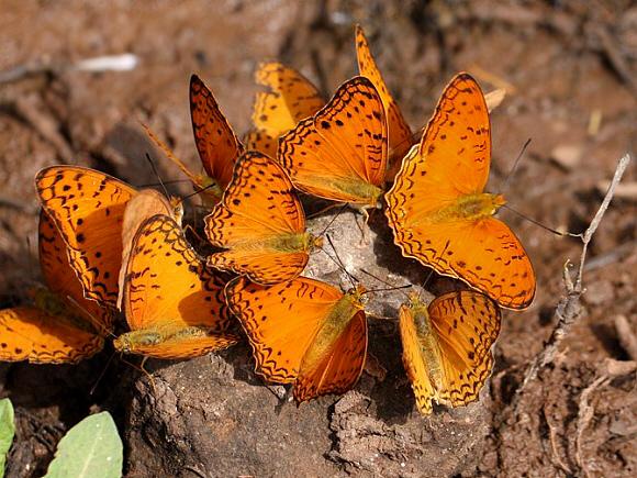 Bộ sưu tập cánh vẩy 5 - Page 5 Phalanta%20phalantha%20Menagasha%20Forest%204931%20PBJ-002a