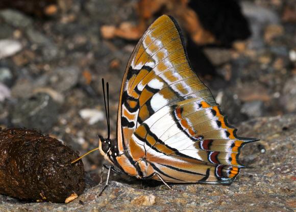 Bộ sưu tập cánh vẩy 4 - Page 18 Polyura%20jupiter%20%20YapenIs-Papua%20DSP001a