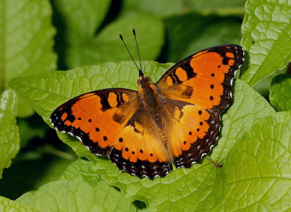 African Butterflies & Moths | Real Butterfly Gifts Real ...