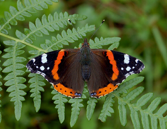 Butterflies of Europe - Vanessa atalanta